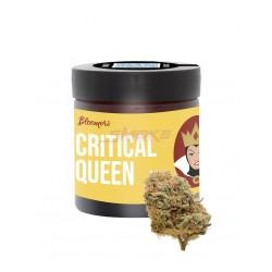 Critical Queen - Bloomers CBD